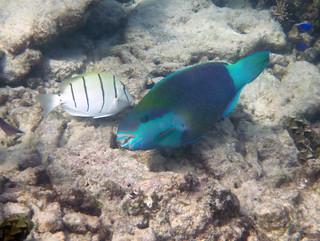 Greenthroat parrotfish male (Scarus prasiognathus) & convict surgeonfish (Acanthurus triostegus), Anse Lazio, Praslin