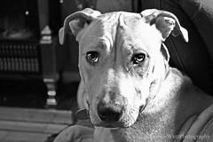 Harley (Rainbow_127) Tags: light dog white black contrast dark eyes nikon bright ears d3100
