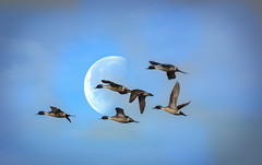 Pintails and a morning moon (champbass2) Tags: california moon pacific ducks birdsinflight anasacuta morningmoon migratorywaterfowl champbass2 wintermigration northernpintailsinflight flywaycalifornianorthern