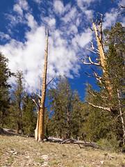 Ancient Bristlecone Pine Forest, Methuselah Loop, Bristlecone Pines (darthjenni) Tags: trip travel cloud tree landscape desert hiking great whitemountains hike basin mojave bishop owensvalley inyonationalforest basinandrangeprovince