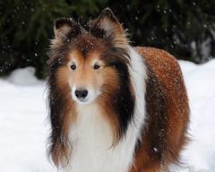 Bravo enjoys another snowy day  7/52 (courtney065) Tags: winter snow dogs animals shelties shetlandsheepdogs nikond90 simplysuperb 52weeksfordogs