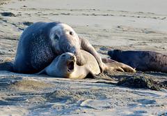 elephant seal mating1 (ricardo00) Tags: blancas piedras