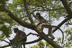 _DSC3271. Ugandan Red Colobus, Kibale, Bigodi Swamp, Uganda. (Berit Christophersen) Tags: uganda colobus primates aper kibale sonyalpha ugandanredcolobus bigodiswamp procolobustephrosceles