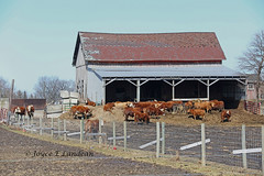 It's Friday - Fence time_KF3A9046mec-20L (Joyce_E_Landean (Trying to get back at it)) Tags: barn rural fence upstateny pasture weathered redroof hff catle