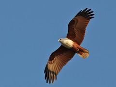 Brahminy Kite in Flight (SivamDesign) Tags: kite bird fauna canon eos rebel kiss flight 300mm tele x4 seaeagle redbacked brahminykite haliasturindus brahminy 550d canonef300mmf4lisusm t2i redbackedseaeagle