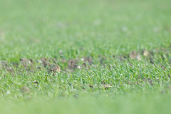 They Call Him Camouflage. (natural diversity) Tags: bird nature nikon wildlife norfolk skylark d4