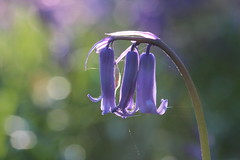 bluebell bokeh (explored) easter Monday (andy_porter69) Tags: