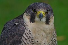923-12L (Lozarithm) Tags: derryhill bowood birdsofprey falcons falconry k50 55300 x14 hdpda55300mmf458edwr blip pentax zoom