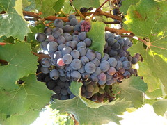 "Levin Gamay - Ready for Picking • <a style=""font-size:0.8em;"" href=""http://www.flickr.com/photos/133405556@N08/19456340454/"" target=""_blank"">View on Flickr</a>"
