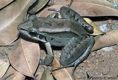 Leptodactylus guianensis (Guianan Thin-toed Frog) (Kenny Wray) Tags: santa nature de venezuela wildlife amphibian frog elena kenny herp herps wray anura amphibia fieldherping leptodactylidae guianensis santaelenadeuairn herping guianan uairn leptodactylus leptodactylusbolivianus kennywray thintoed leptodactylusguianensis guiananthintoedfrog