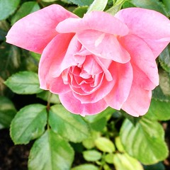 (Mr.Machain) Tags: flower love nature rose thanks garden outdoors petals blossom pinkflower leafs pinkrose appreciating greenleafs