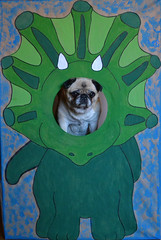 Made a dinosaur photo stand for my little cousin's birthday and I just had to test it out of course. LOL (DaPuglet) Tags: pug pugs dog dogs pet pets animal animals dinosaur photostand cutout triceratops birthday party art funny cute dinosaurs