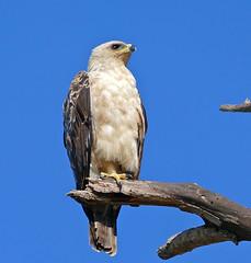 Tawny Eagle (Aquila rapax) juvenile (berniedup) Tags: lowersabie kruger tawnyeagle aquilarapax eagle taxonomy:binomial=aquilarapax