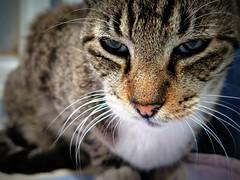 Adormilado (MaPeV) Tags: morris bellolindoguapetón gatos cats chats kawaii felin neko gatti gattini gattoni tabby chat katze gato kitty tabbyspoted powershot canon g16