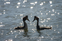"""Courtship Dance / The elegant mating dance  - Great Crested Grebe  / Podiceps Cristatus (I'll catch up with you later...) Tags: nikond610fx nikkor200500mmf56eafse rertug """"nikonflickraward"""" greatcrestedgrebe nenecountrypark wildlifephotography birdphotography"""
