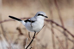 Northern Shrike (Paridae) Tags: shrike northernshrike familylaniidae laniusexcubitor birdsofboundarybay birdsofbritishcolumbia thingswithwings birdsofafeather featheredfriends afewofmyfavouritethings canoneos7d