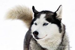 Siberian Husky (My Planet Experience) Tags: siberian husky sled snow dog animal white portrait blue eye siberia myplanetexperience wwwmyplanetexperiencecom