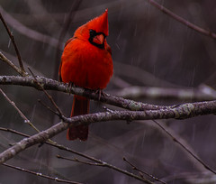 The Inquisitive Cardinal (T i s d a l e) Tags: tisdale theinquisitivecardinal birds cardinal northerncardinal malecardinal winter march 2017 easternnc
