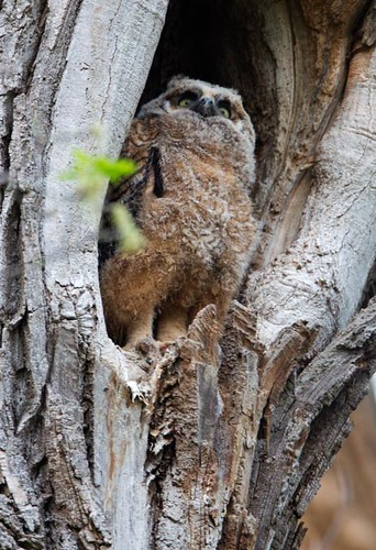 Great Horned Owlet_Q4G9687