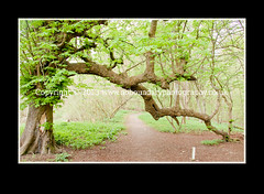 Photo of Interesting tree on woodland walk at Chiltern Open Air Museum-