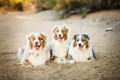 UV7A4100 (Aussies4me_ReenaG) Tags: dogs naturallight wash australianshepherd aussies 52weeksfordogs wwwreenagiolacom trioofaussies