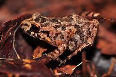 Lowland Tropical Bullfrog (Junglenews) Tags: amazon frog amphibians manaus amazonas amazonia rã anura amphibia leptodactylidae inpa anfíbios anurans anuros leptodactylus reservaducke adenomera reservaflorestaladolphoducke