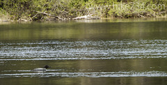 "Common Loon • <a style=""font-size:0.8em;"" href=""http://www.flickr.com/photos/63501323@N07/8949241008/"" target=""_blank"">View on Flickr</a>"