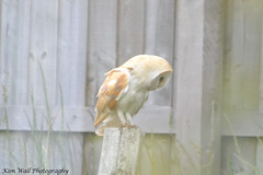 BarnOwl_13062013_1a (Kim Wall Photography (Purplesun2001)) Tags: somerset barnowl nyland kimwallphotography