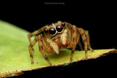 Cute jumping spider (Anthony Kei C) Tags: jumpingspider salticidae
