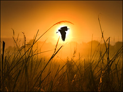 Caught by the Sun (adrians_art) Tags: plants weather birds misty sunrise wings flight foggy silhouettes grasses herons