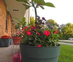 06_17_13_201936 Vinca and plumaria (Rottlady) Tags: flowers plumeria frontporch springfieldmissouri vinca theozarks rottlady