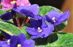 FQF FLICKR BRASIL (Ruby Ferreira ®) Tags: macro droplets dof bokeh athome waterdrops violeta violetflower gotasdrops