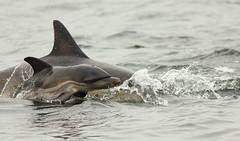 Dolphin calf (Pog's pix) Tags: baby cute skye mammal scotland highlands marine innerhebrides dolphin wildlife loch calf delphinus commondolphin sealoch dolphincalf lochdunvegan highlandlady