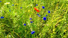 29.07.2013 (claudiaredux) Tags: flowers blue red wild green field poppy cornflowers