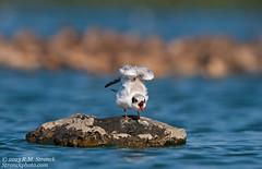 Forster's Tern -juv (Bob Stronck) Tags: juvenile avian redwoodcity redwoodshores sanmateocounty forsterstern sternaforsteri radioroad stronckphotocom birdsofsanfranciscobay ©2013rmstronck