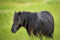 Wet Stallion (jeff_a_goldberg) Tags: horse canada novascotia nationalgeographic wildhorse parkscanada loh sableisland feralhorse fishermansharbour sableislandhorse sableislandpony sableislandnationalparkreserve