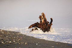 stumped (rinathompsonphotography) Tags: sea newzealand mist seascape tree beach nature water rural coastal nz stump southisland westcoast treestump seamist waterscape brucebay southwestland rinathompson