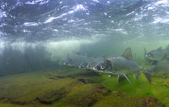 The Line (Fish as art) Tags: underwaterphotography canadianarctic undervattensfoto coregonids canadianfishes underwaterphotographypaulvecsei