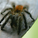"""Tarantula • <a style=""""font-size:0.8em;"""" href=""""http://www.flickr.com/photos/101688182@N03/9784866593/"""" target=""""_blank"""">View on Flickr</a>"""