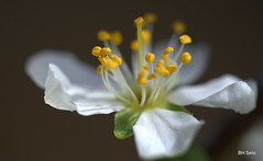 Prune flower (setoboonhong ( back and catching up..)) Tags: white flower macro green nature yellow petals stamens pollen prune