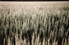 Soft Wheat (Spotmatix) Tags: camera summer landscape effects countryside seasons belgium minolta lofi places villerslaville brabantwallon