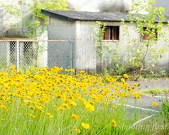 no one else (Masaaki Kasamatsu) Tags: street old city flowers house color yellow japan town small snap hiroshima fujifilm onomichi summerlight xpro1 xf55200mmf3548rlmois