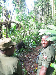 Guides express relief after a gorilla charges. (omnia2070) Tags: africa park rainforest ranger gorilla national guide uganda aggressive primate charge bwindi bwindinationalpark