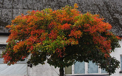 The red tree (shaggy359) Tags: street autumn red orange tree green leaves leaf usk gwent monmouthshire maryport