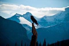 Lone Crow (aitramah) Tags: canada mountains bird nature animal animals forest landscape alberta lone lonely crow raven