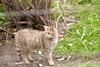 Wilde Kat 2 (norbert93) Tags: anholt wildekat anholterschweiz