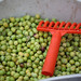 2013 Jordan Olive Harvest 020