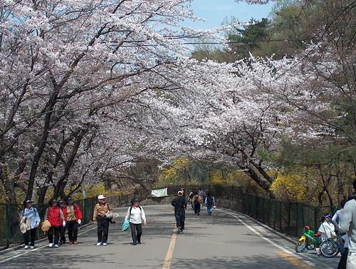 South Korea - Seoul - Namsan - Cherry Blossom - 2