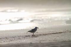 Silver Gull walking at Esperance beach on a sunny summer afternoon .. (bunyip_1975) Tags: summer beach canon dof seagull australia depthoffield 7d wa aussie westernaustralia 70300 esperance silvergull canon7d canonef70300mmf456lisusm