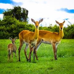 Family life (MastaBaba) Tags: park family baby elizabeth queen deer national uganda queenelizabeth ndeke westernregion busongora 20131106 20140216 bf:blogitem=5496